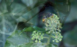 Nuestros drones lucharán contra la avispa devoradora de abejas